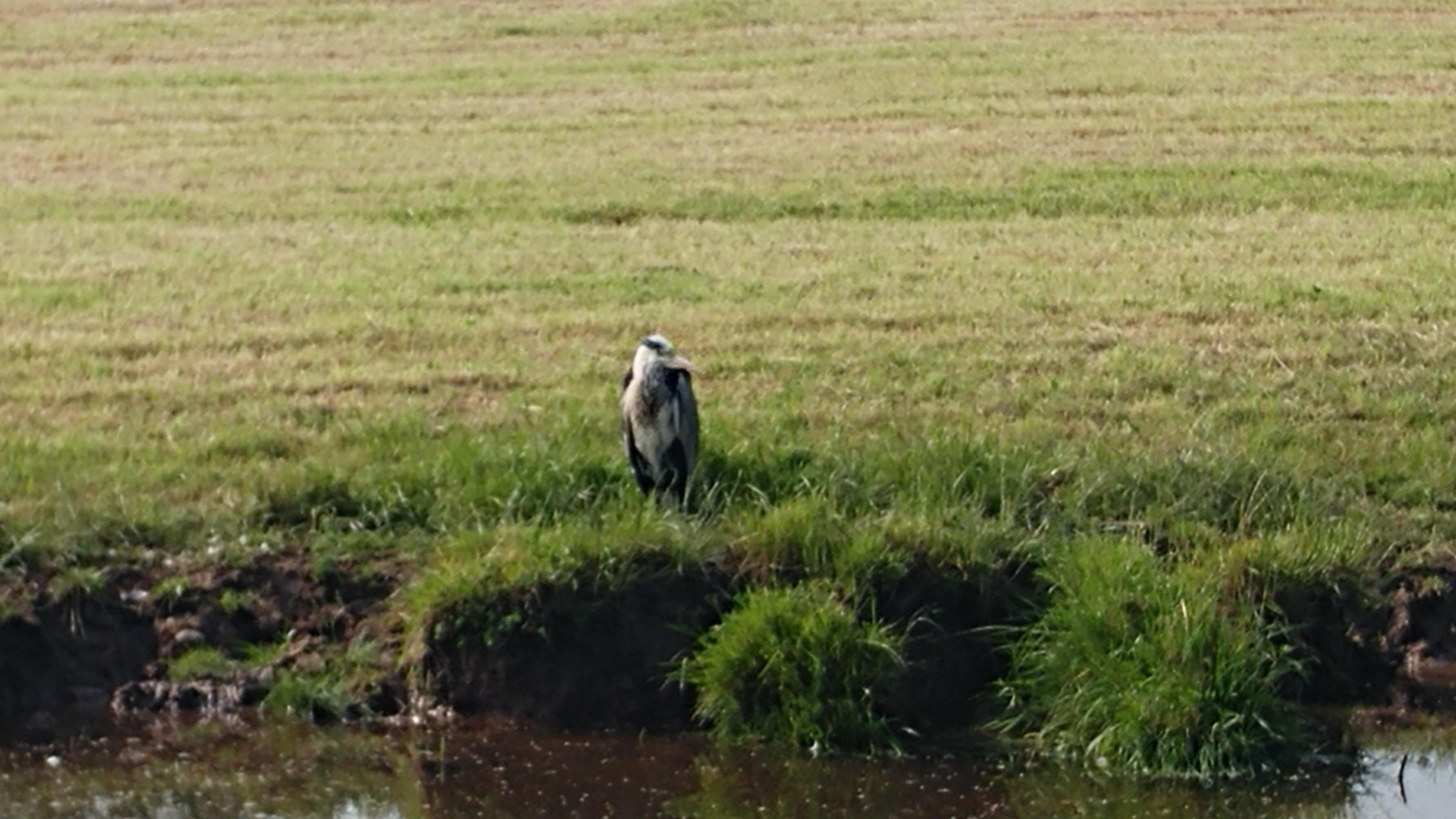 A heron, Near Congleton